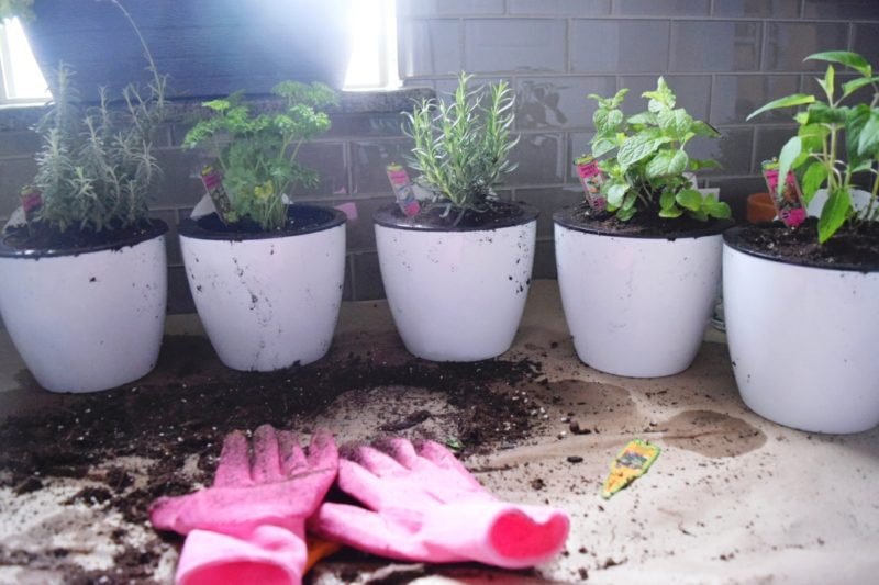 bonnie plants at walmart herbs and vegetables how to grow indoor herbs herb garden floating plant wall kitchen plants