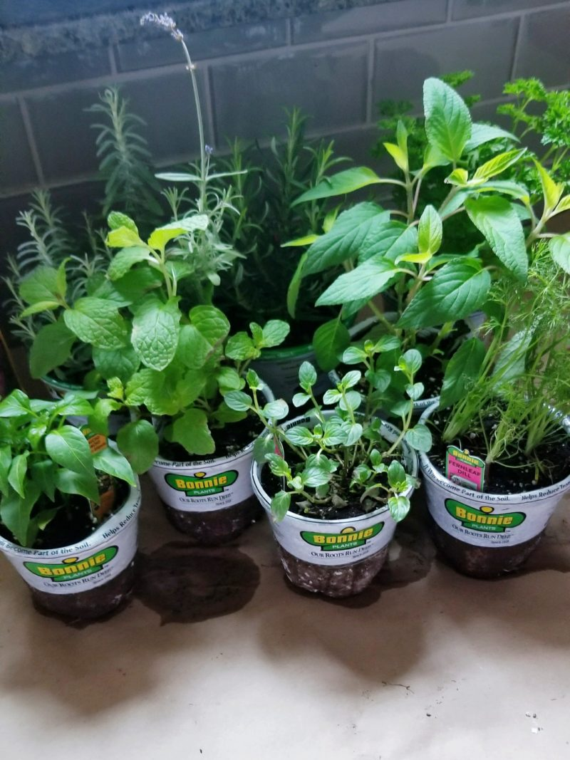 bonnie plants at walmart herbs and vegetables DIY floating plant wall kitchen herb garden grow herbs and vegetables in your kitchen fresh herbs plant wall floating plants